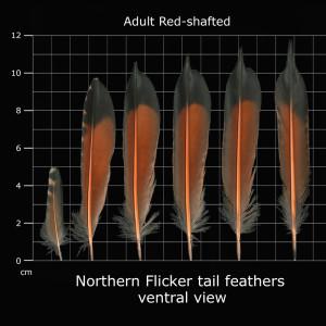 Bilde tatt fra: http://www.fws.gov/lab/featheratlas/feather.php?Bird=RSFL_tail_adult_ventral